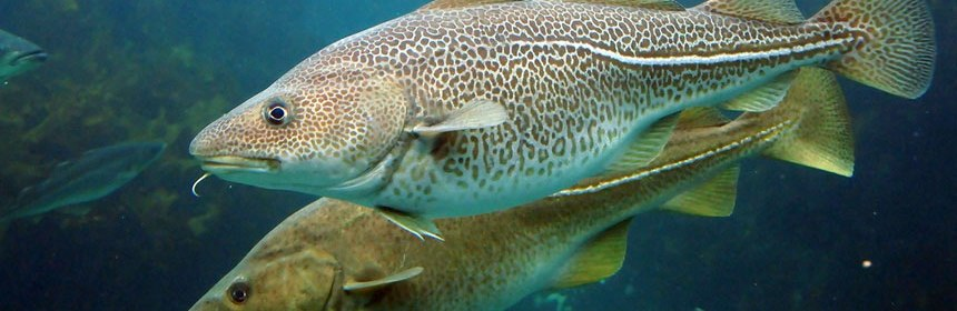 Atlantic cod in water